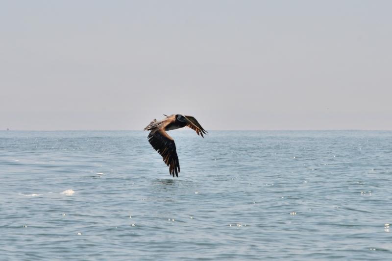 Een pelikaan