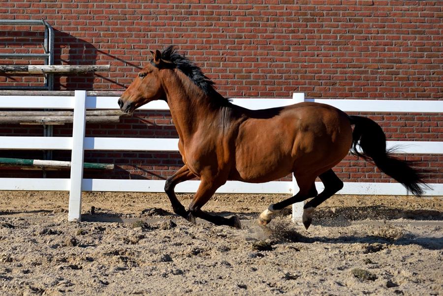 Paard in galop.