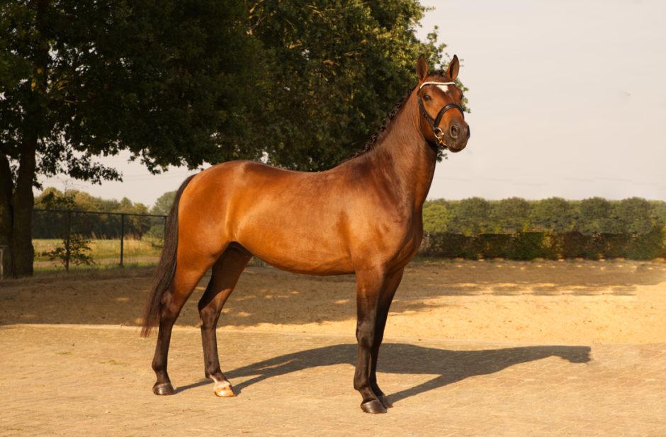 Vierkant staan voor de foto,  pony fotografie voor de verkoop.