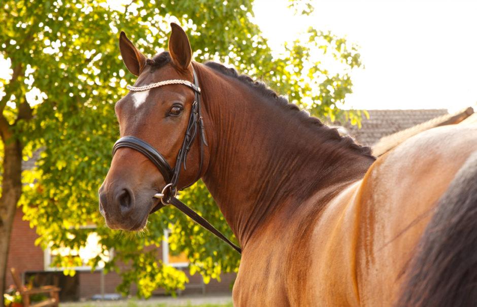 Portret van een paard.