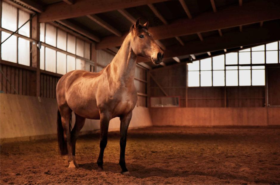 stoere foto van paard in de binnenbak in Limburg.